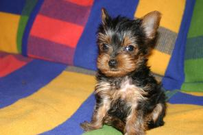 Lovely Yorkie Puppies for free adoption  (Milo  And Mimi) Ready For new homes(tracymoorgan@yahoo.com)